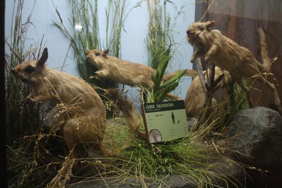 Museu de História Natural castores