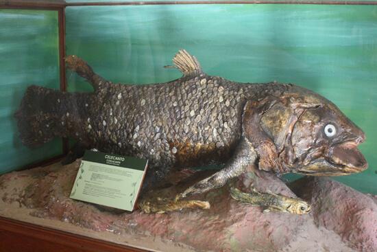 Museu de História Natural peixe carpa