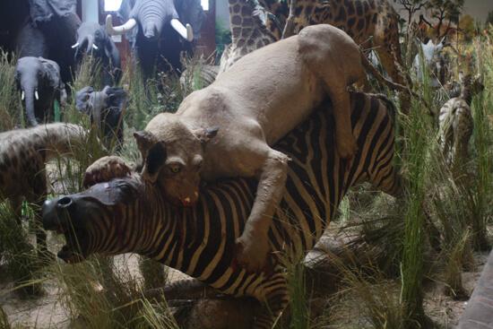 Museu de História Natural zebra