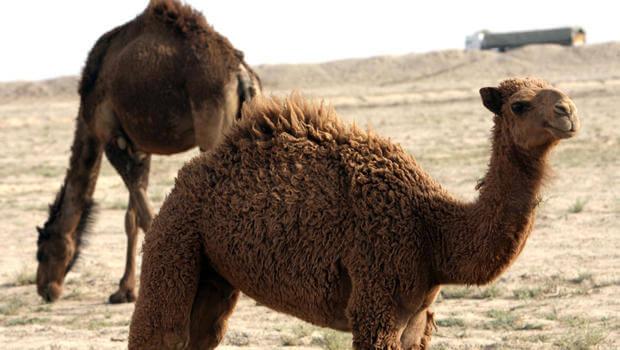 Camelo em changana