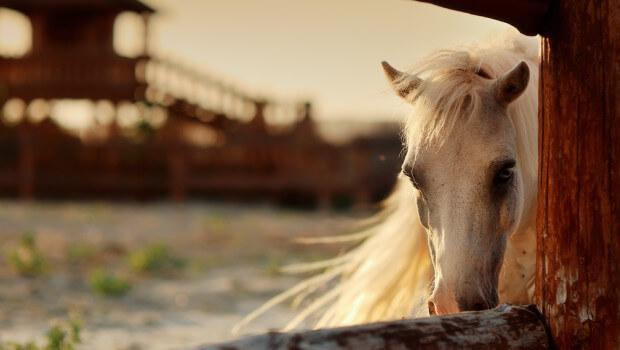 Cavalo em changana