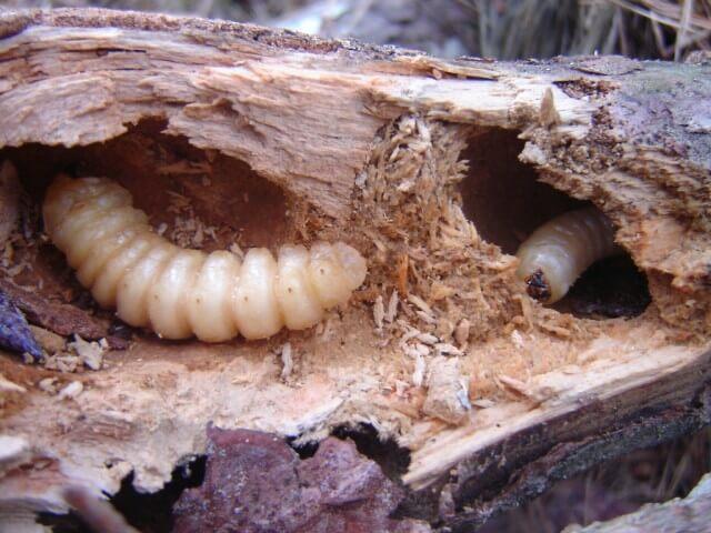 larvas de arvores